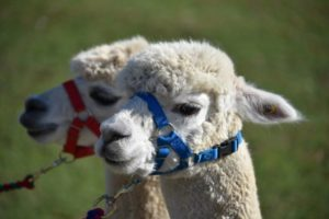 Alpaca Holiday Cottage